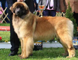 Circle Of Life Of New Wind (Zodiac v Löwengarten X Berljon Nora Nereide) Breeder and Owner- Balázs Thurzó
